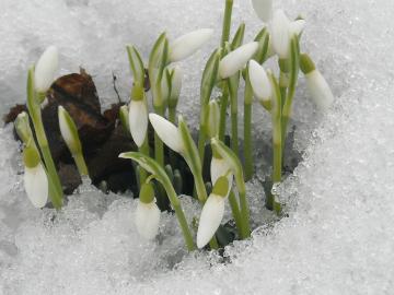 Lumikellukesed lumes